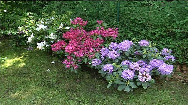 Fabelhaft Rhododendron pflanzen, pflegen und düngen: Tipps - SAT.1 Ratgeber @UE_89
