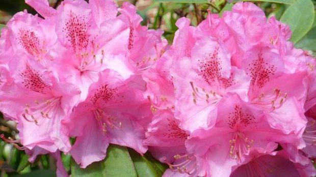 Bekannt Rhododendron schneiden – mit dieser Anleitung | SAT.1 Ratgeber XD26