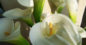 Callas sind sehr beliebte Hochzeitsblumen – ihre ausgefallene Blüte ist erhab...