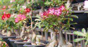 Die Wüstenrose benötigt als Zimmerpflanze einen hellen und warmen Platz, um z...