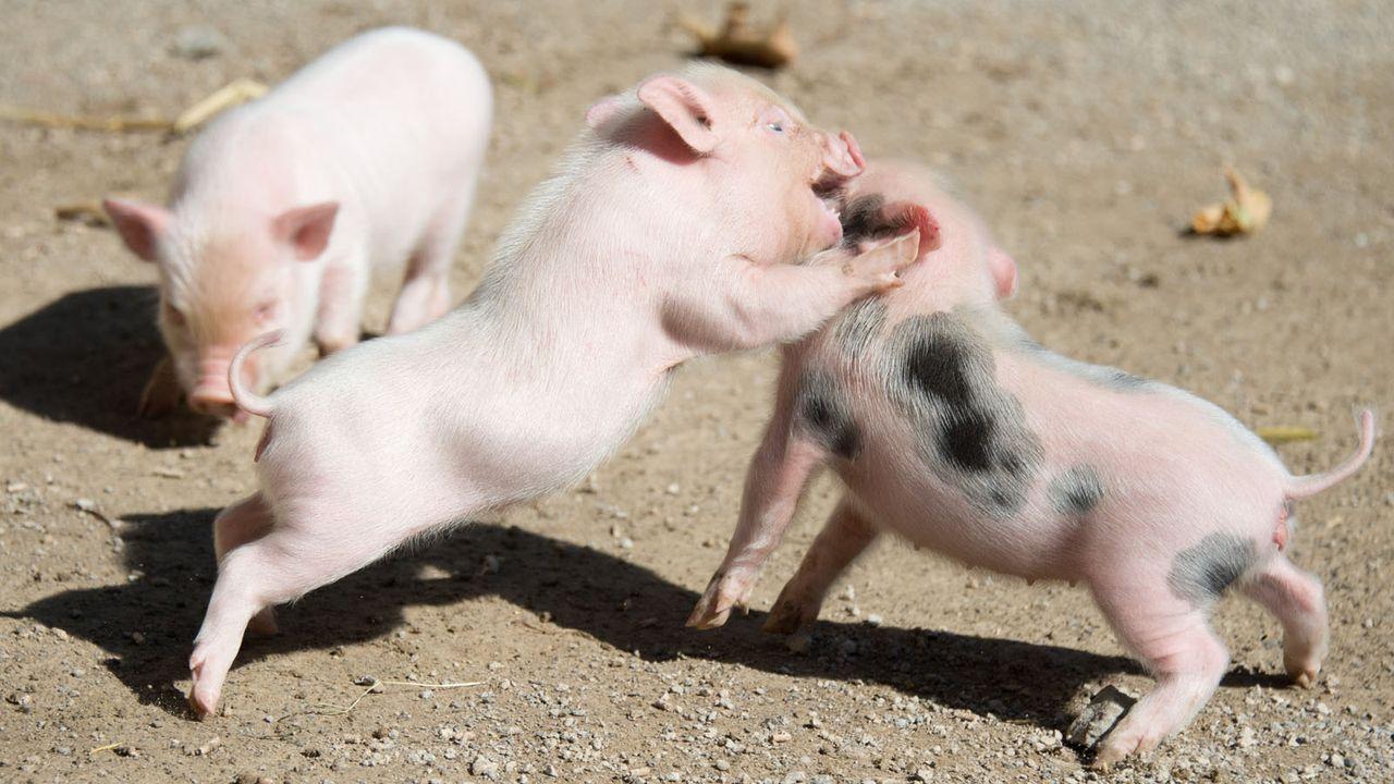 MiniSchwein3 - Bildquelle: dpa