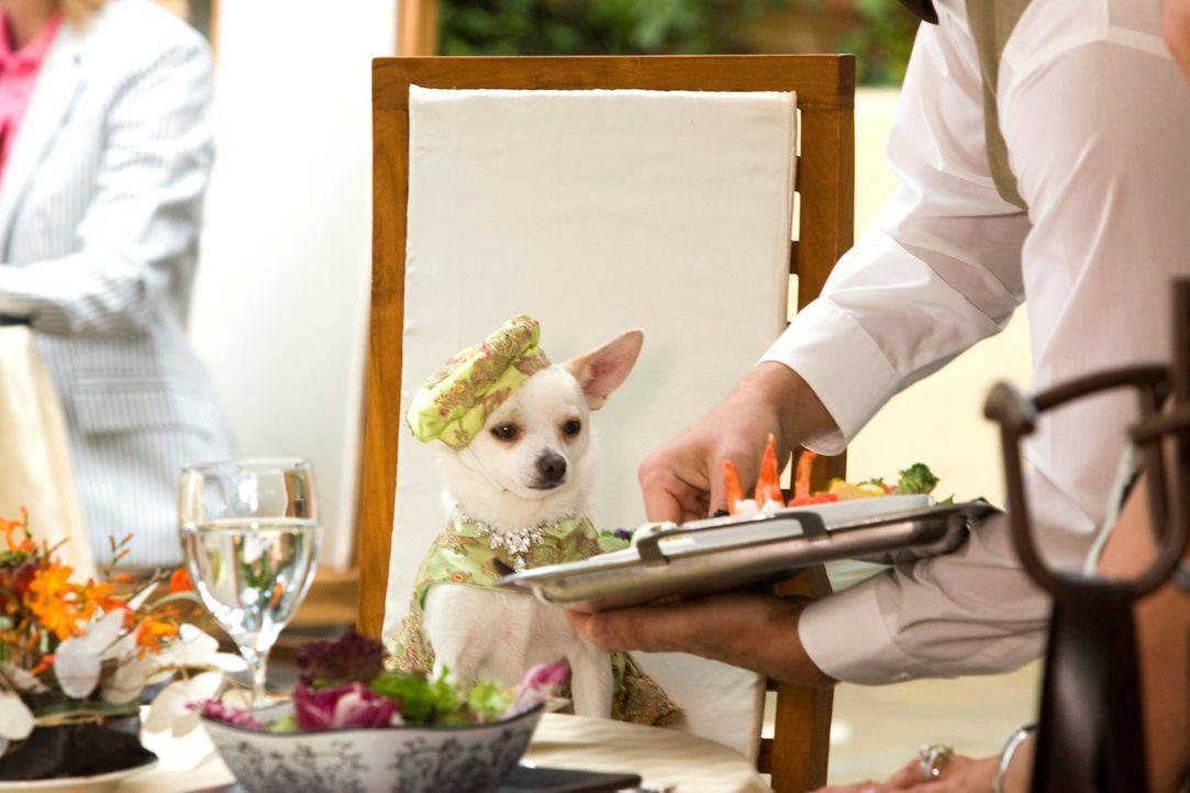 Geht auf eine abenteuerliche Reise: Chihuahua-Dame Chloe ... - Bildquelle: Disney Enterprises, Inc.  All rights reserved