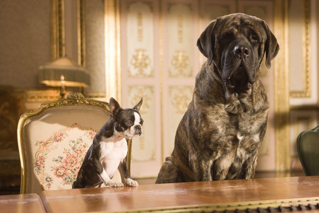 Schon bald wird Mastiff Lenny (r.) und der Boston-Terrier-Dame Georgia (l.) klar, dass sie das große Los gezogen haben. Denn aus ihrem altersschwac... - Bildquelle: MMVIII MavroCine Pictures GmbH & Co. KG All Rights Reserved.