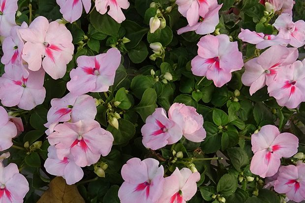 160513_Sommerpflanze_Bildergalerie_b3_Pixabay - Bildquelle: Pixabay