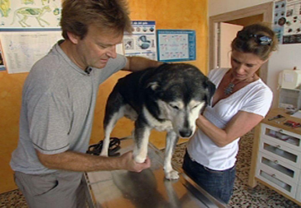 Der Hamburger Tierarzt Dr. Stefan Oetjen betreibt eine eigene kleine Praxis mitten in Santa Eulària. Seine Stammkunden sind vorzugsweise Deutsche,... - Bildquelle: Sat.1