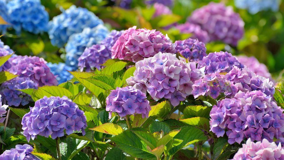 Hortensien Pflanzen Schneiden Vermehren überwintern Sat1