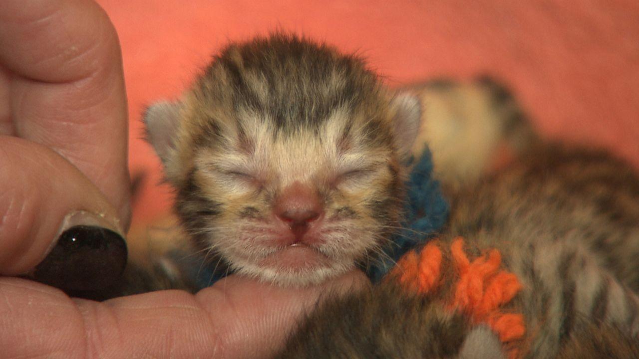Bengalkatzen-Züchterin Anja Patz konnte die Geburt von 7 kleinen Katzen filmen ... - Bildquelle: SAT.1