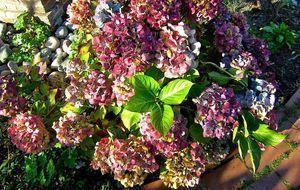 Erhält die Pflanze nicht ausreichend Aluminium oder ist der Boden zu alkalisc...