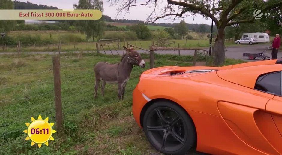 Große Beute schwarze Esel