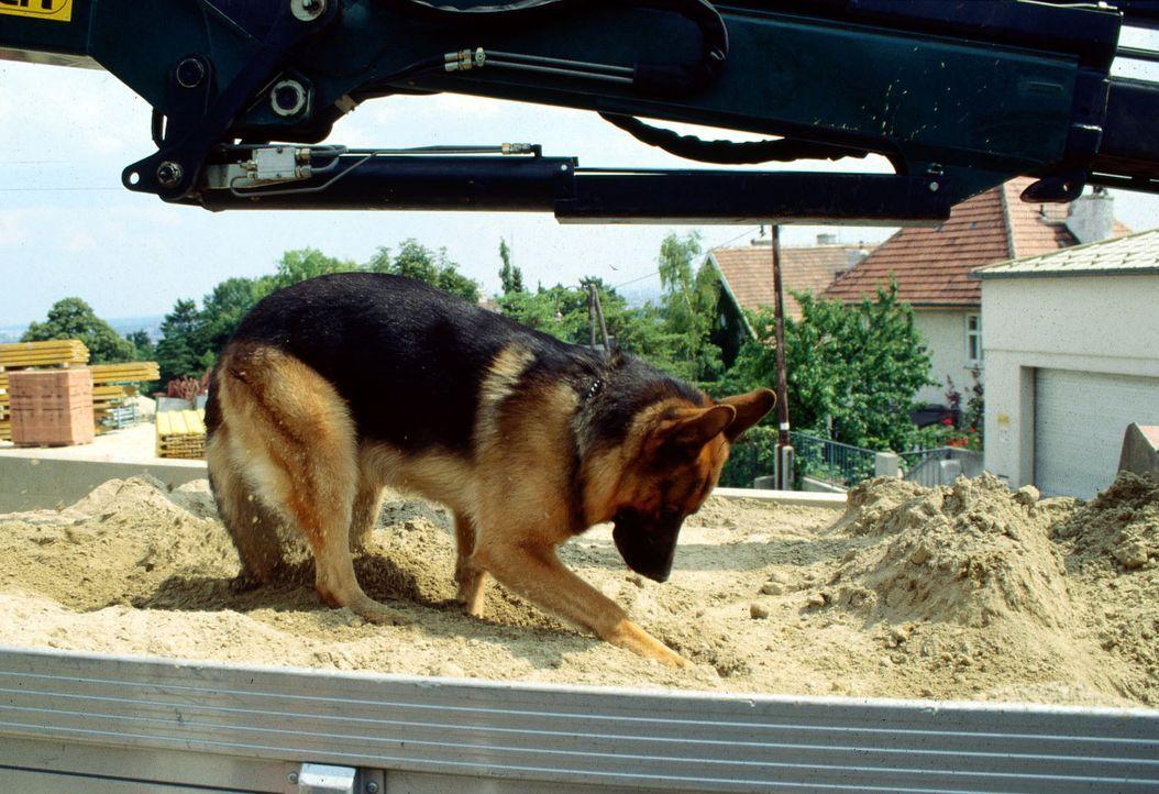 """Rex setzt seine Spürnase ein und """"durchsucht"""" einen LKW nach belastendem Material. - Bildquelle: Ali Schafler Sat.1"""