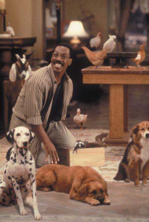 Tierarzt Dr. Dolittle (Eddie Murphy) freundet sich in seiner Praxis mit einigen neuen Patienten an ... - Bildquelle: 1998 Twentieth Century Fox Film Corporation. All rights reserved.