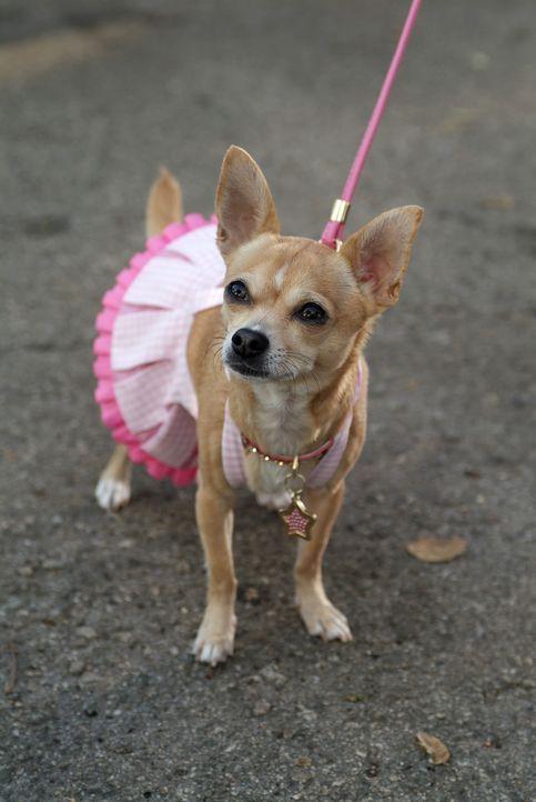 Elle ist entsetzt: Die Mama von Brutus, ihrem geliebten Chihuahua, wird in einer Tierversuchsanstalt gefangen gehalten! Da müssen die Karriere und i... - Bildquelle: Metro-Goldwyn-Mayer (MGM)