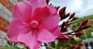 Damit der Oleander viele Blüten trägt, ist jedes Frühjahr ein Rückschnitt rat...