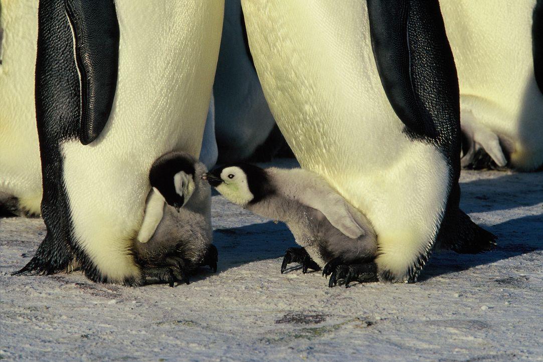 Auf den ersten Blick scheint die Antarktis ein lebensfeindlicher Raum - und dennoch liegt ausgerechnet hier die Kinderstube der Kaiserpinguine - Bildquelle: Kinowelt Filmverleih