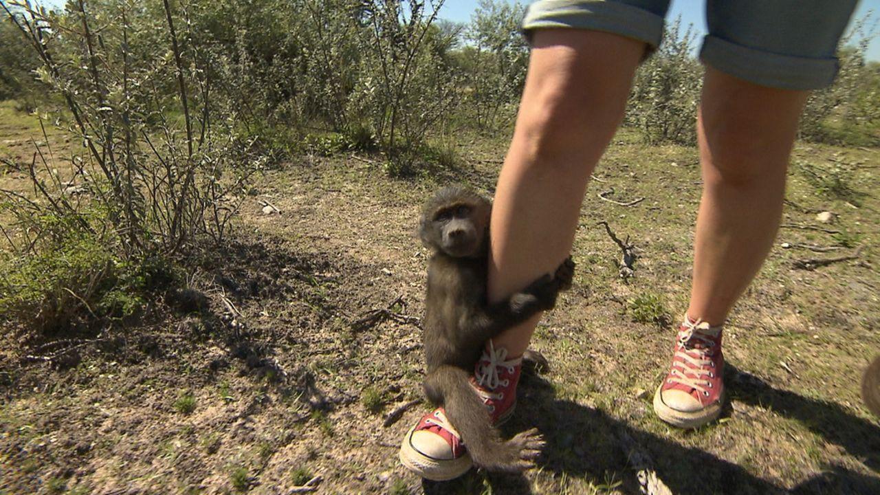 Andrea Kaiser geht in der Harnas Wildlife Foundation in Namibia mit Pavianbabys im Busch spazieren und darf die Affenkinder ins Bett bringen ... - Bildquelle: SAT.1