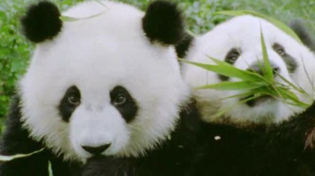 Panda Syndrom