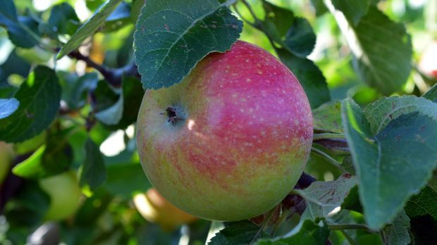 Die Finnen verwenden zwar ebenfalls den Boskop-Apfel, aber sie bereiten ihn v...