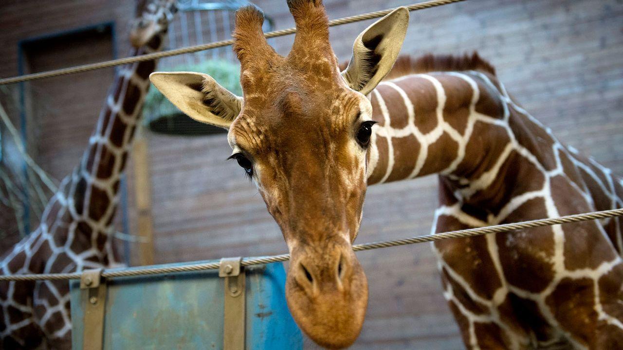 Giraffe2 - Bildquelle: dpa