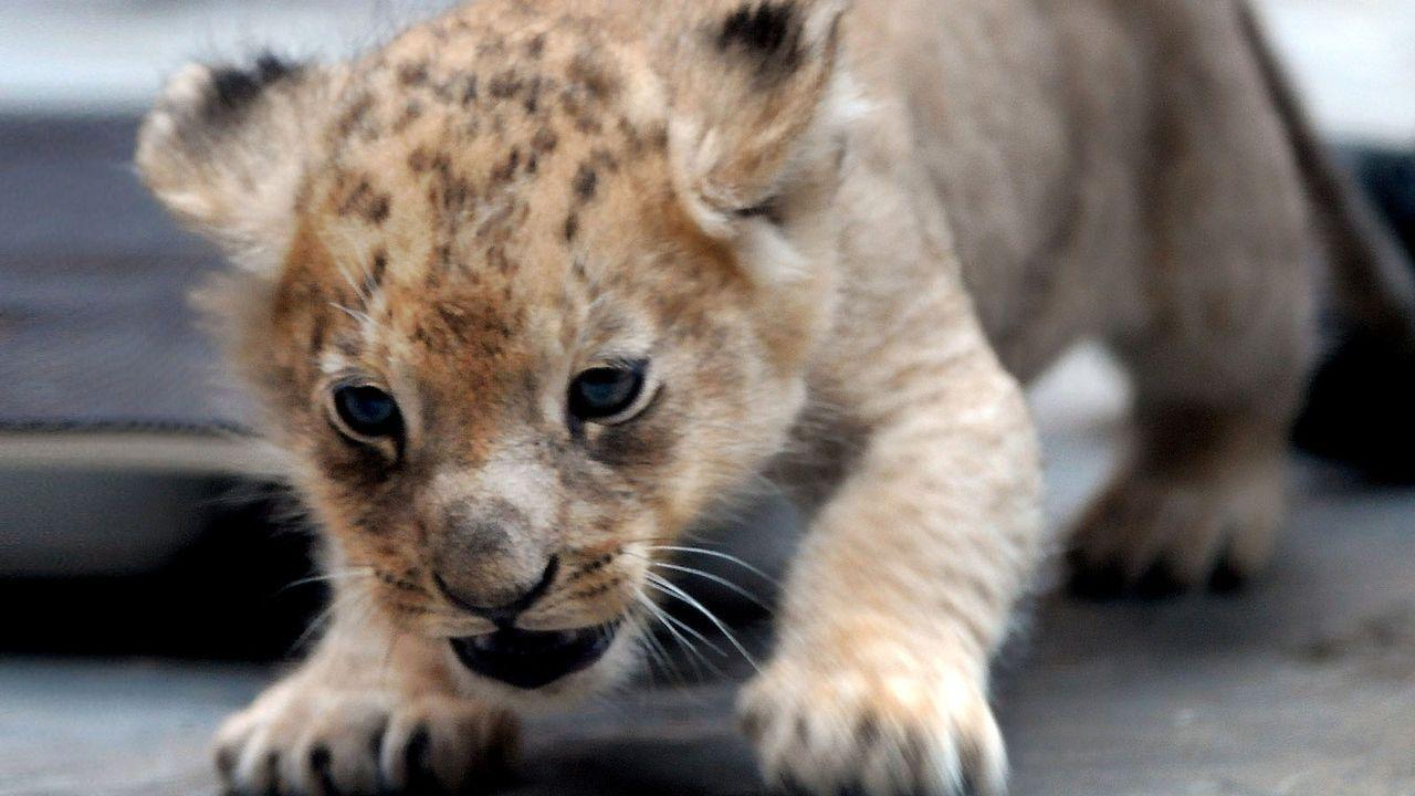Löwenbaby3 - Bildquelle: dpa