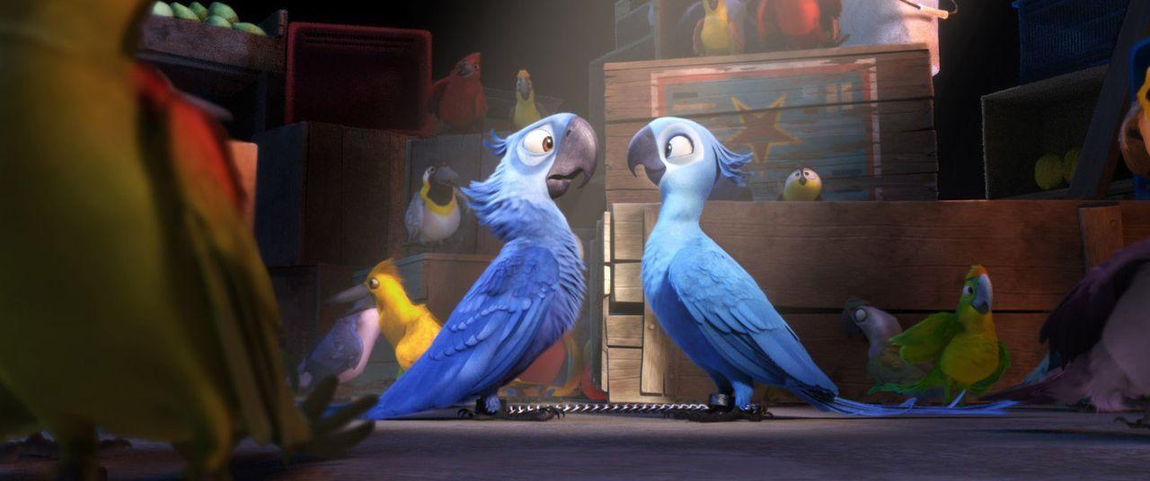 Blu (l.) ist der letzte männliche Spix-Ara auf der Welt. Um seine Gattung zu retten, wird er nach Rio de Janeiro verfrachtet und mit der rebellisch... - Bildquelle: Blue Sky Studios 2011 Twentieth Century Fox Film Corporation. All rights reserved.