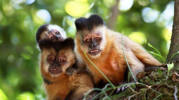 Bei den Säugetieren halten sich vor allem Primaten an die klassische Mutter-V...