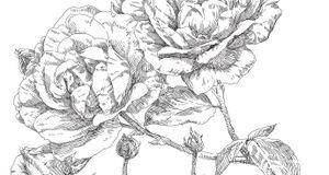 Mit dornen zeichnen rose Rose zeichnen