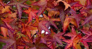 Die Blätter erinnern an die des Ahorns.