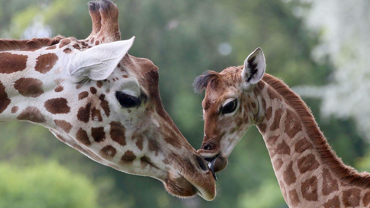 Giraffe5 - Bildquelle: dpa