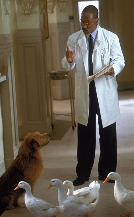 Als einige Gänse durch die Praxis spazieren, muss Dr. Dolittle (Eddie Murphy) seinem Hund Lucky ins Gewissen reden ... - Bildquelle: 1998 Twentieth Century Fox Film Corporation. All rights reserved.