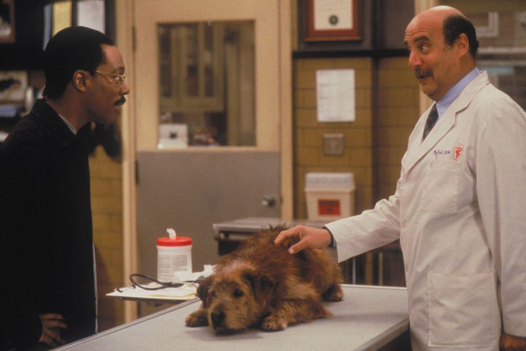 Dr. Dolittle (Eddie Murphy, l.) muss mit seinem Hund Lucky selbst zum Tierarzt und legt das Schicksal seines besten Freundes in die Hände von Dr. Fi... - Bildquelle: 1998 Twentieth Century Fox Film Corporation. All rights reserved.