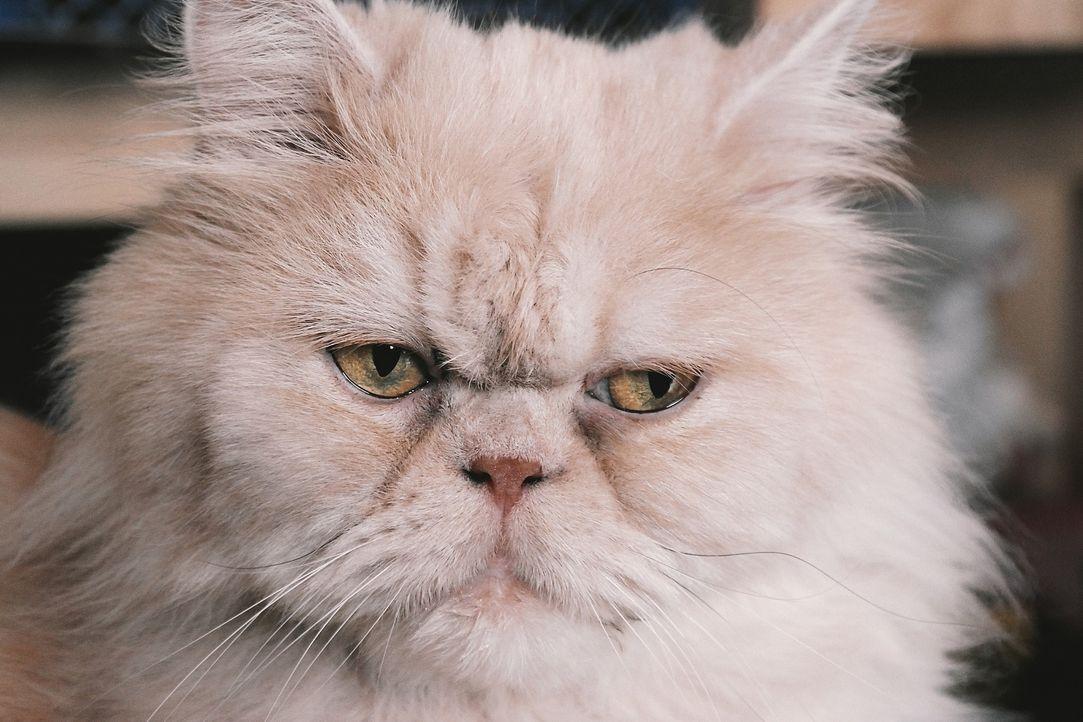 persian-cat-2461526_1920 - Bildquelle: Pixabay