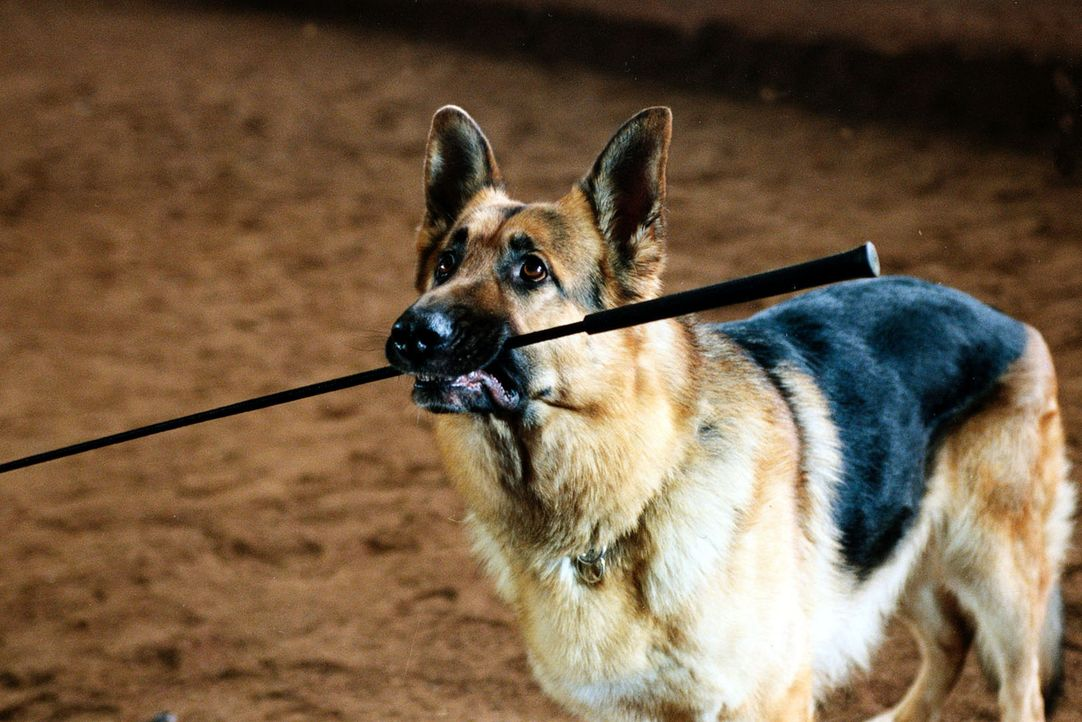 Rex nimmt dem Pferdetrainer die Peitsche weg, als er ihn bei einer Tierquälerei erwischt. - Bildquelle: Sat.1