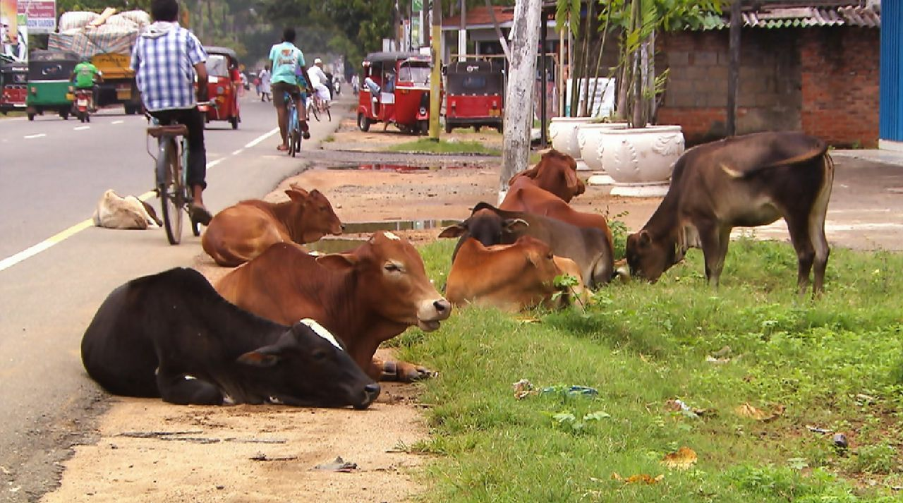 Bitte melde dich Staffel 2 Folge 1 Sri Lanka Kuh - Bildquelle: SAT.1
