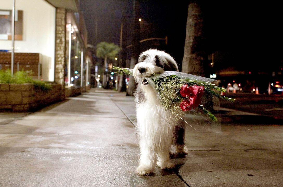 Blumen für seine Frau - doch wird Rebecca ihren Mann in Gestalt eines Hundes erkennen? - Bildquelle: Disney Enterprises, Inc. All rights reserved