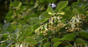 Gartengestaltung_2016_04_06_Laubbäume bestimmen_Bild 3_fotolia_ernstboese