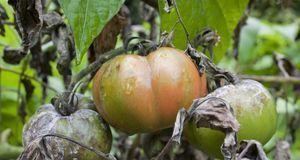 Sind Tomaten von Braunfäule befallen, sehen sie so aus – alles andere als app...