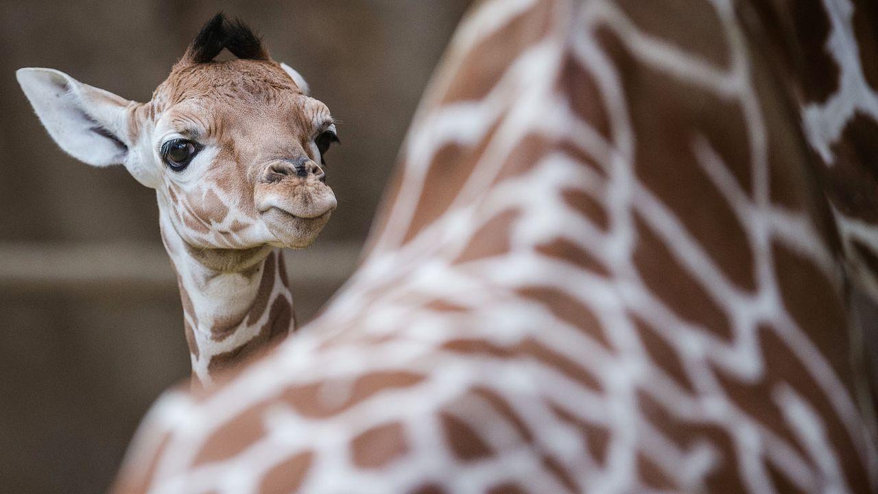 Giraffe1 - Bildquelle: dpa
