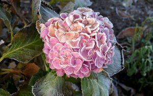 Auch im Winter ist der Strauch ein echter Hingucker im Garten – vor allem, we...