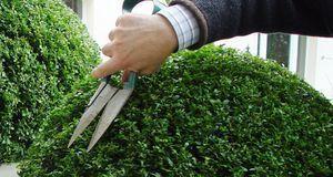 Gartengestaltung_2016_02_29_Buchsbaum schneiden_Bild 2_dpa