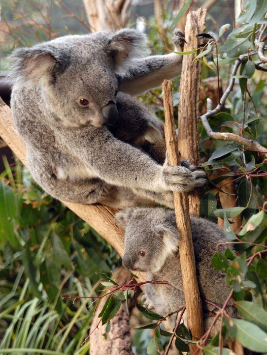 australien-koala-11-12-30-tmn-dpa - Bildquelle: Verwendung weltweit, usage worldwide