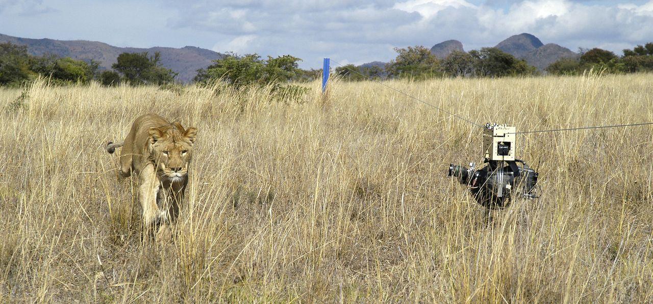 Der ferngesteuerte Kamera-Roboter kann das Leben der wilden Tiere hautnah festhalten, ohne sie in ihrem Verhalten zu beeinflussen ... - Bildquelle: BBC/John Downer