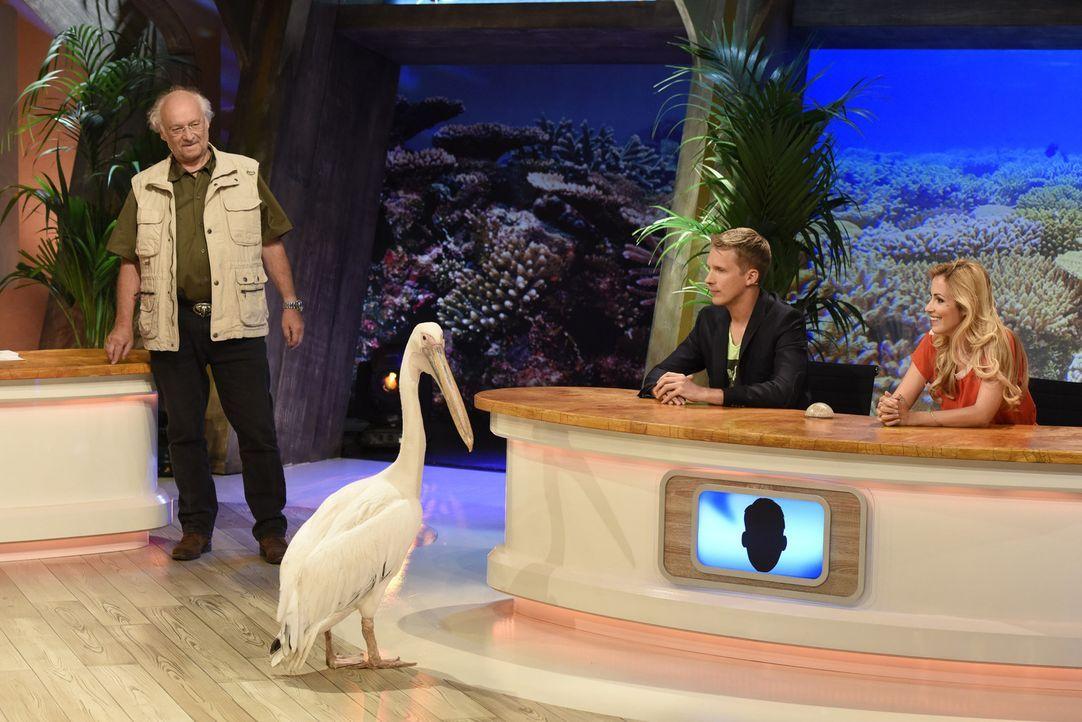 Dr. Wolf (l.) zeigt Oliver Pocher (M.) und Andrea Kaiser (r.), wie erstaunlich so ein Pelikan tatsächlich ist ... - Bildquelle: Martin Rottenkolber SAT.1