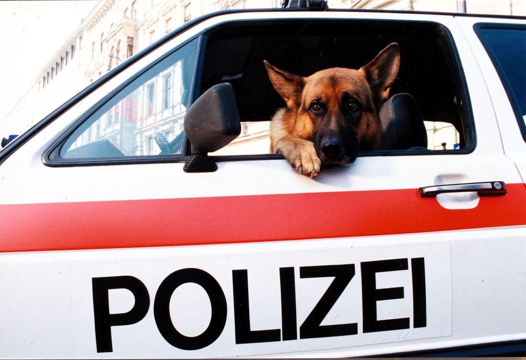 Rex ist verstört: Kommissar Brandtner hat sich als Geisel zur Verfügung gestellt und soll jetzt befreit werden. - Bildquelle: Ali Schafler Sat.1
