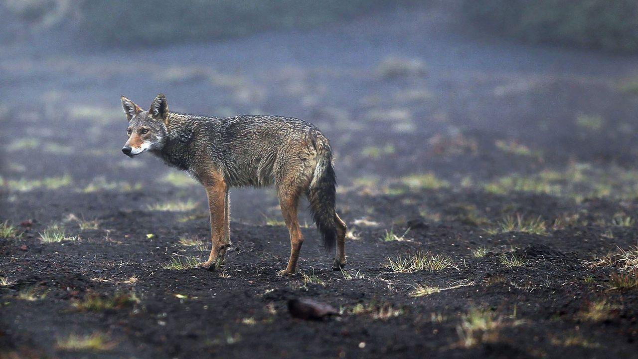 Kojote - Bildquelle: dpa
