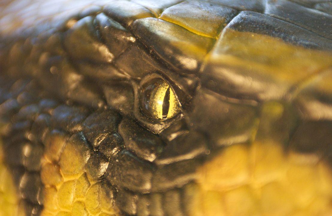 Die Anakondas sind dank der besonderen Wirkstoffe der Orchidee noch schneller, größer und cleverer als je zuvor ...