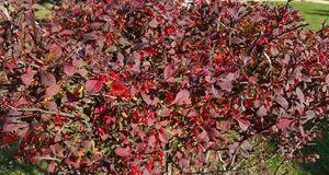 So farbenfroh leuchtet die Gemeine Berberitze im Herbst – ein schöner Hinguck...