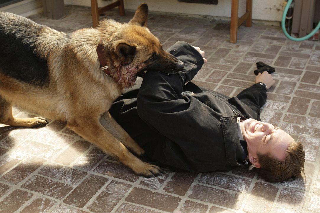 """Das Team ermittelt in einem Fall von Drogenschmuggel. Beim Erstürmen eines Hauses wird McGee (Sean Murray) vom """"wachhabenden"""" Schäferhund angegrif... - Bildquelle: CBS Television"""
