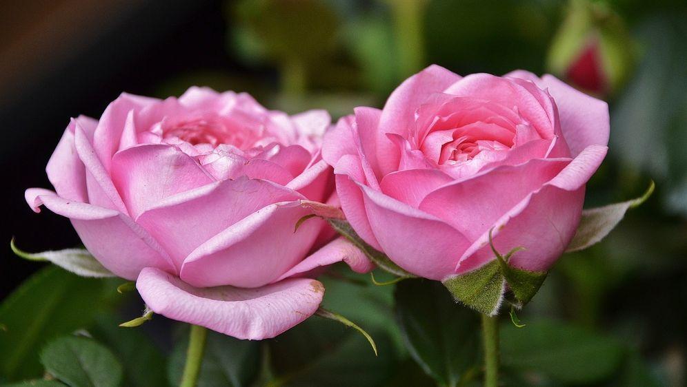 rosen kaufen welche rosenarten berzeugen sat 1 ratgeber. Black Bedroom Furniture Sets. Home Design Ideas
