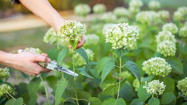Bei den meisten Hortensien muss im Frühjahr nur die Blüte des Vorjahres gekap...