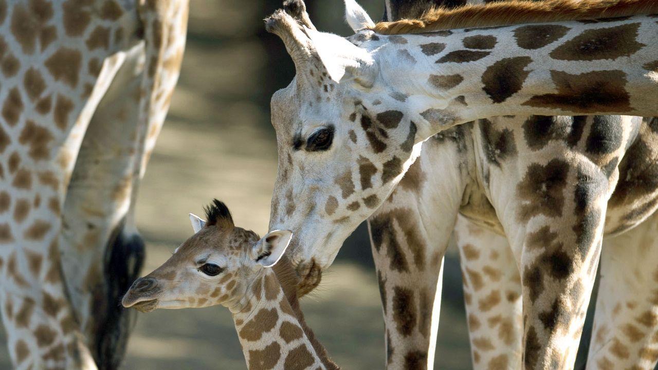 Giraffe4 - Bildquelle: dpa